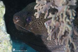 BD-120422-St-Johns-6000-Gymnothorax-javanicus-(Bleeker.-1859)-[Giant-moray].jpg